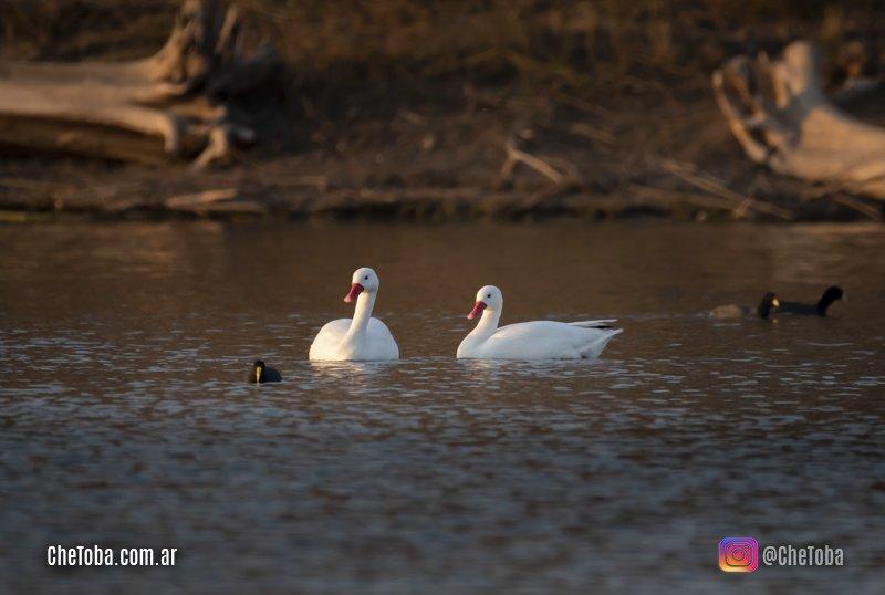 Cisnes coscoroba, cisne blanco
