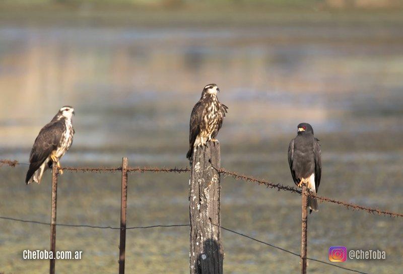 Familia de aves rapaces en alambrados cordobeses