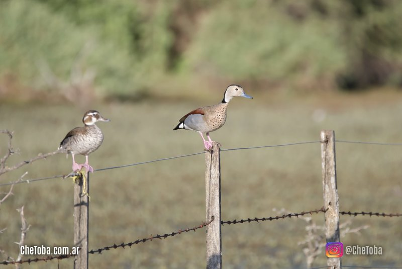 Patos silvestres del centro de Córdoba, Argentina