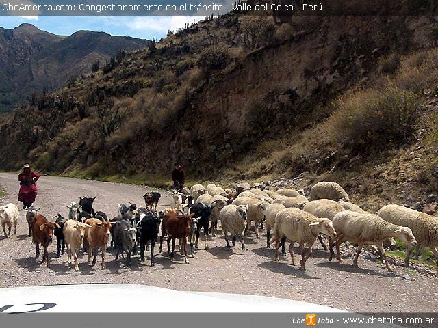 Ganado andino en Valle del Colca