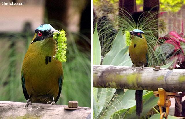 Birdwatching Calarcá Quindío