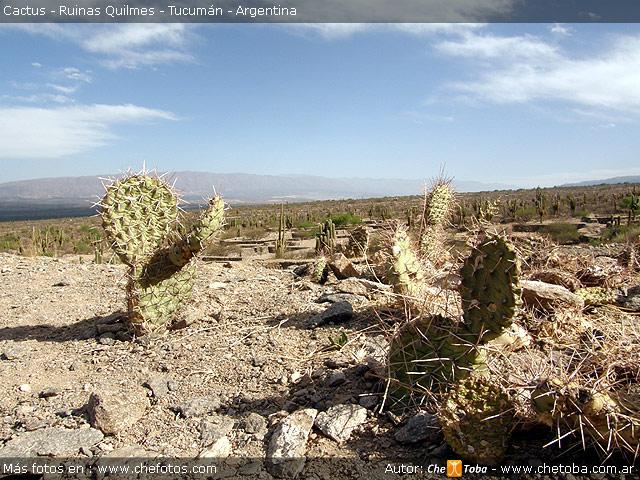 cactus-quilmes-tucuman