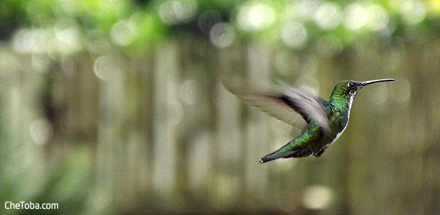 Colibrí Colombia Amazilia Coliruffo