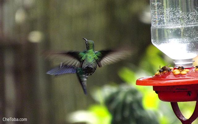 Foto picaflor volando