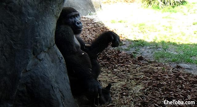 Gorilas en Busch Gardens