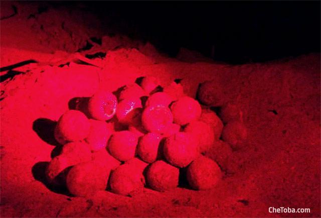 Huevos en nido tortuga Baula