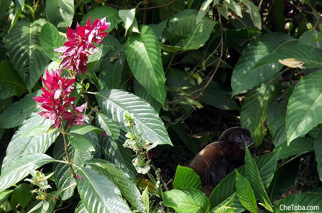 Foto Mono Selva Ecuador