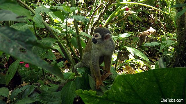 Monos Puyo Ecuador