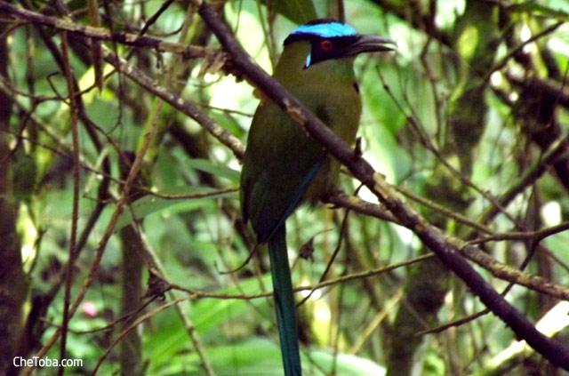Pájaro del Péndulo Colombia