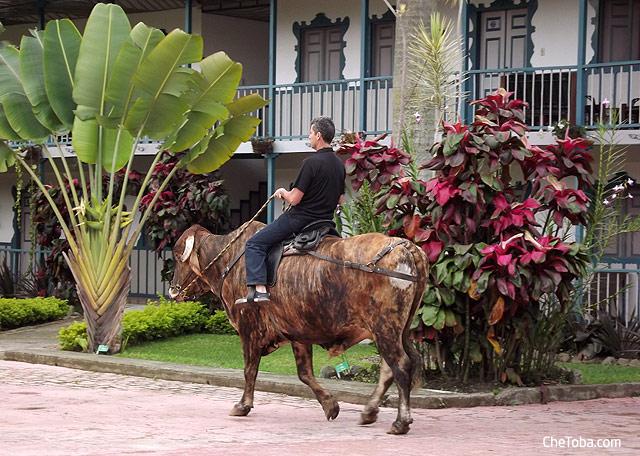 Paseo en Toro por Calarcá hotel