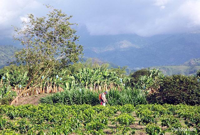 Plantaciones fica cafetera Colombia