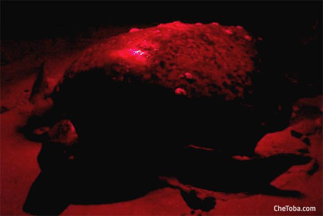 Tortuga Baula saliendo del mar