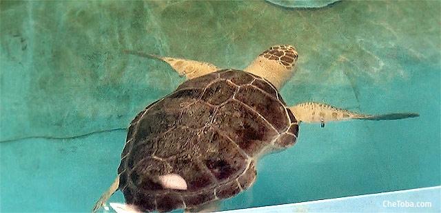 Rehabilitación de Tortuga
