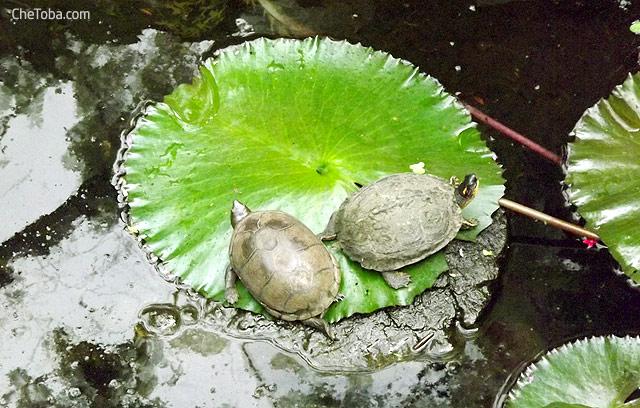 Tortugas Calarcá Colombia