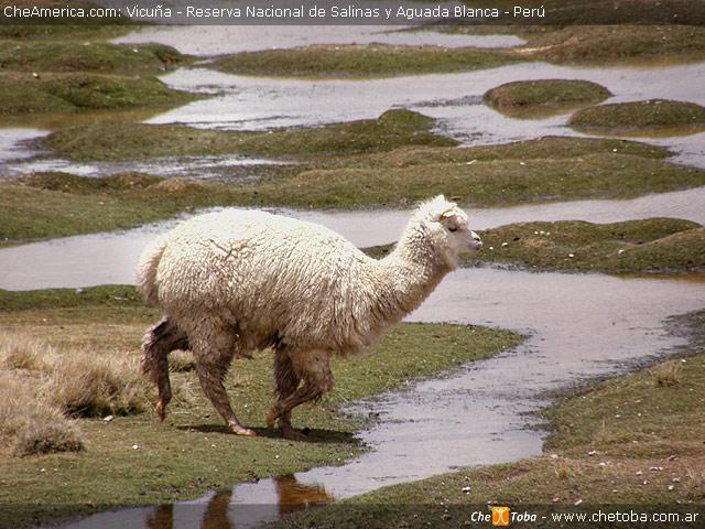 Una Vicuña - Perú
