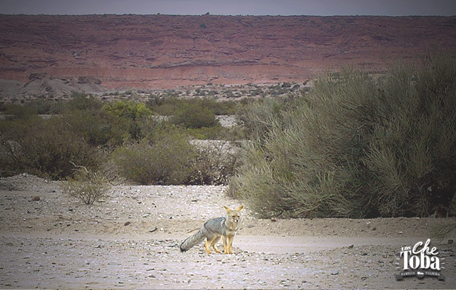 zorro-fauna-ichigualasto
