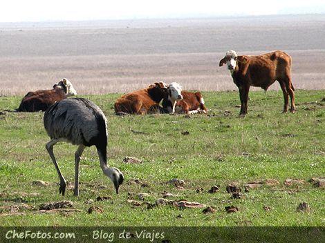 De vacas, pasturas y ñanduses